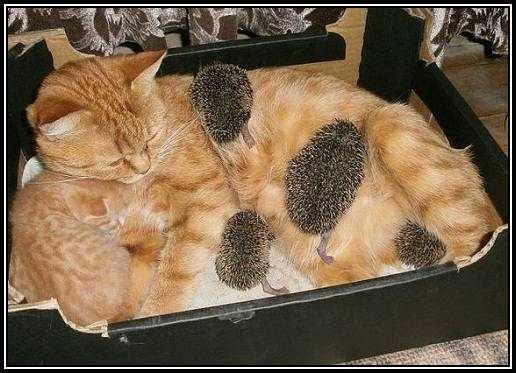 Katze stillt Igel-Babys
