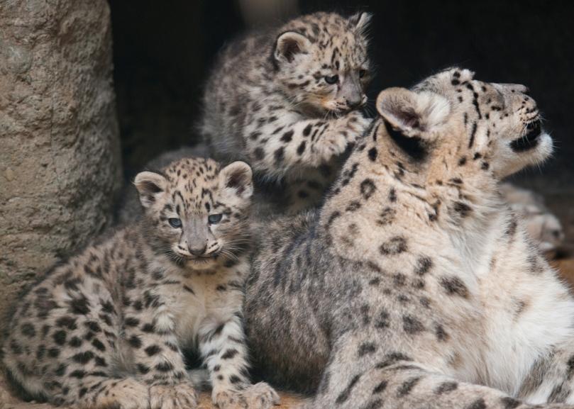 Tiger-Mama